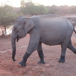 Orphelinat Elephant Pinnawala Sri Lanka