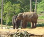 Orphelinat des éléphants à Pinnawala au Sri Lanka