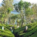 plantation de thé nuwara eliya au Sri Lanka
