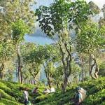 Plantations de Thé à Nuwara Eliya au Sri Lanka