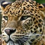Leopard Wilpattu Park