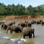 Pinnawela elephants in Sri Lanka