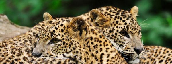 Partez-en-safari-au-Sri-Lanka