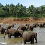 Orphelinat éléphant Pinnawela Sri Lanka